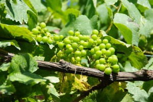 Vindruvorna som växer på terrasstaket